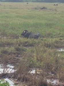 Water Buffalo in a paddy field