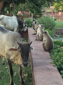 Cows and Monkeys at Mandore, Jodhpur