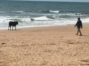 A cow walks along Anjuna Beach