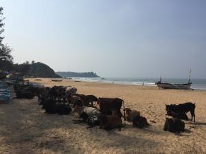 Cows on Patnem beach, Goa