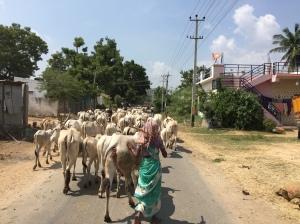 Cows blocking the road, Hampi, Karnataka