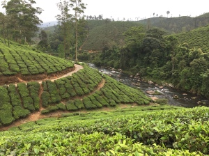 hills covered in tea bushes leading to a river at the bottom of the valley