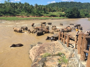 Elephants swimming in the river at Pinnawala