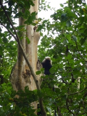 Langur monkey in a tree in Parambikulam Tiger Reserve