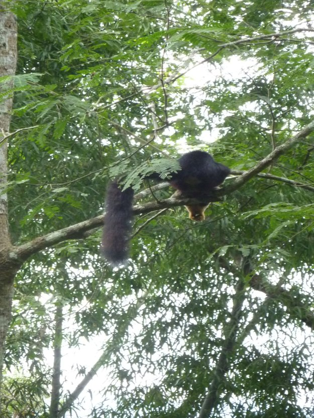 Giant Squirrel in Parambikulam Tiger Reserve