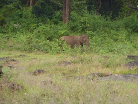 Elephant in Parambikulam Tiger Reserve