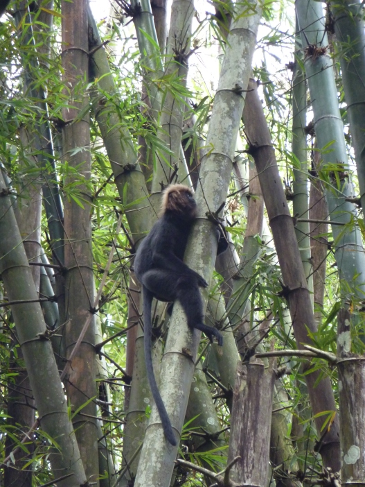 Langur monkey in a bamboo tree in Parambikulam Tiger Reserve