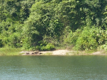 Family of Otters on the banks of the reservour in Parambikulam Tiger Reserve