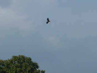White headed fish eagle in Parambikulam Tiger Reserve
