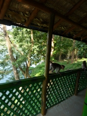 Macaques on veranda of Tree Tophut in Parambikulam Tiger Reserve